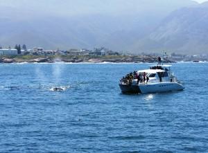 hermanus boat based whale watching