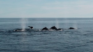 whale watching in Hermanus
