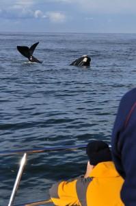 boat based whale watching in hermanus