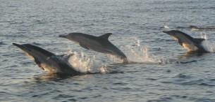 Dolphins Hermanus