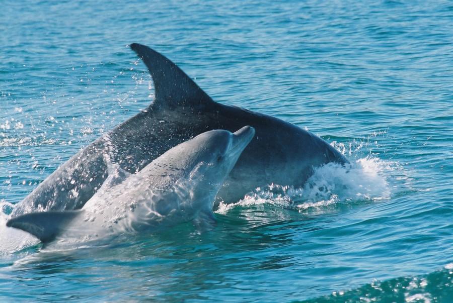 hermanus dolphins