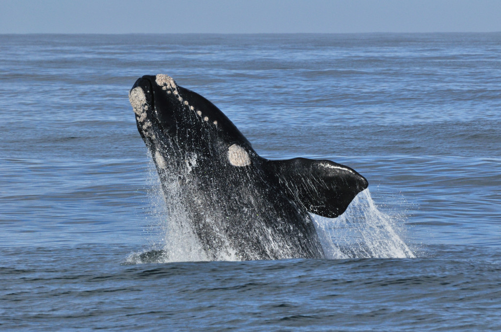 Image result for photo whales hermanus
