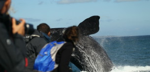 Southern Right Whale Breaching. Copyright Dave De Beer