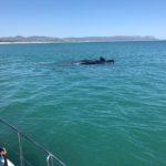 Whale Season 2017 South Africa
